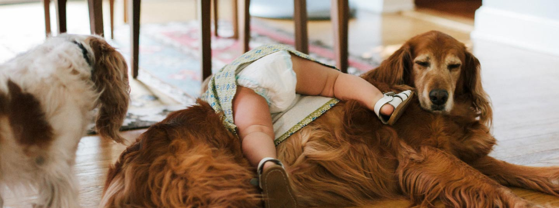 Baby crawling over a golden retriever